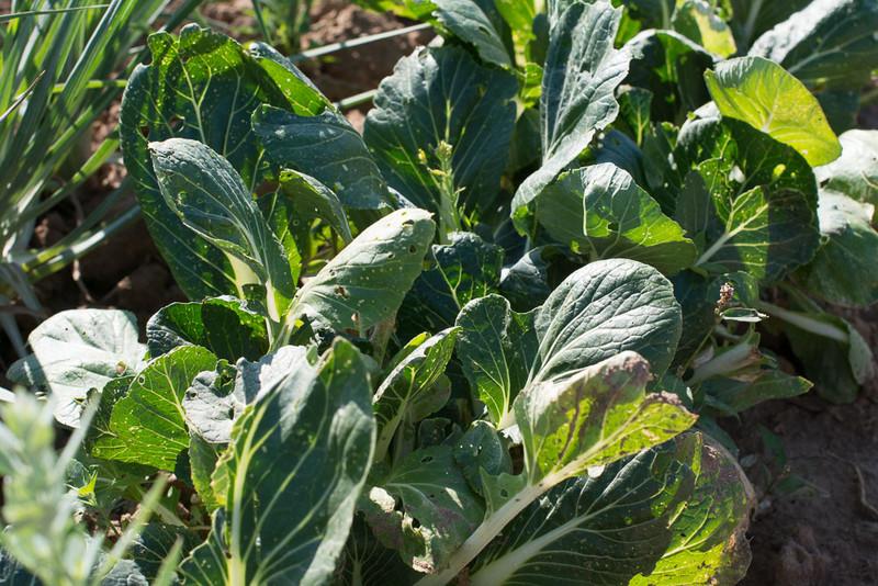 chinakohl pflanzen tipps garten pflege, meine ernte: pak choi anbauen, pflegen, ernten und lagern, Design ideen