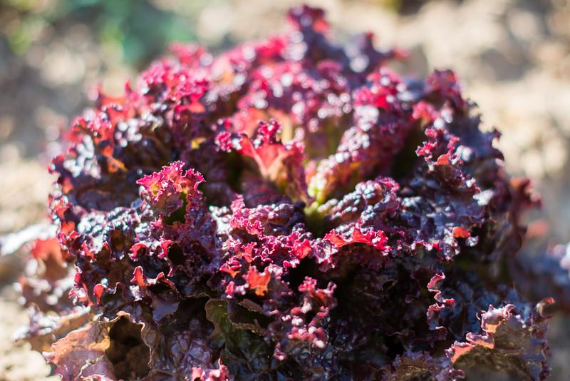 Meine Ernte: Salat Anbauen, Pflegen, Ernten Und Lagern Frische Salate Eigenen Garten Ernten