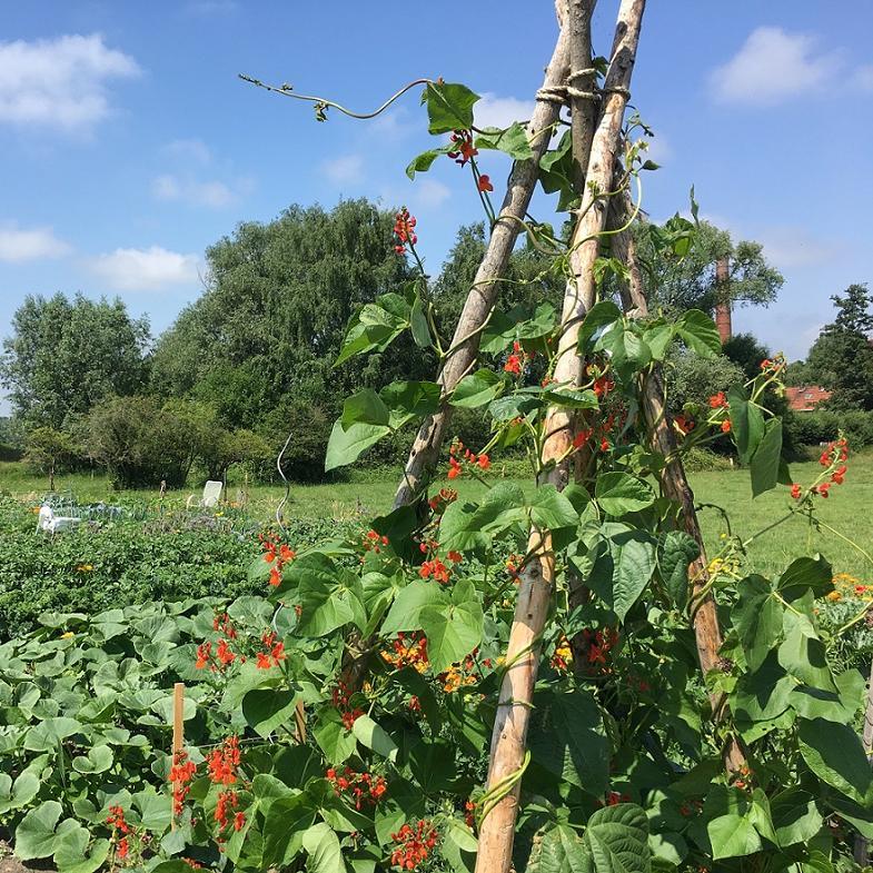 Fabelhaft meine ernte: Buschbohnen anbauen, pflegen, ernten und lagern &OZ_63