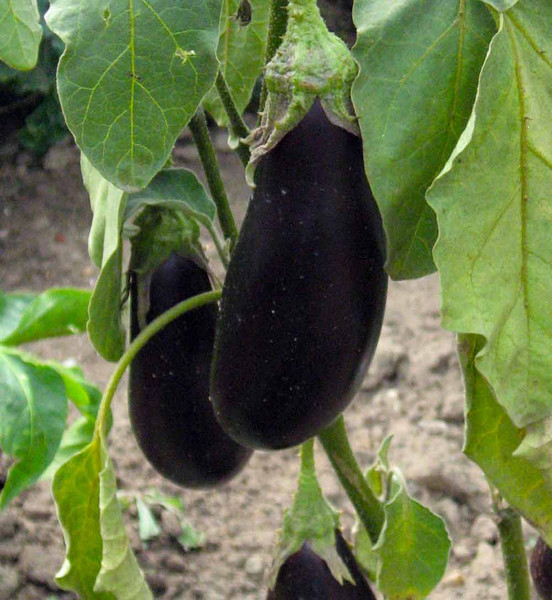 meine ernte auberginen anbauen pflegen ernten und lagern. Black Bedroom Furniture Sets. Home Design Ideas